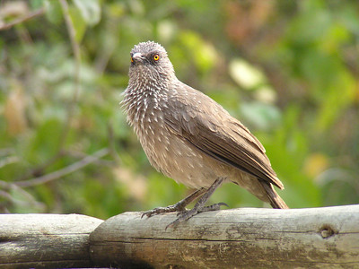 Ashy Starling (Lamprotornis unicolor)