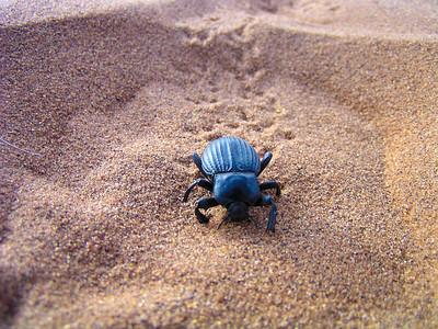Namib Desert Beetle (Stenocara gracilipes)