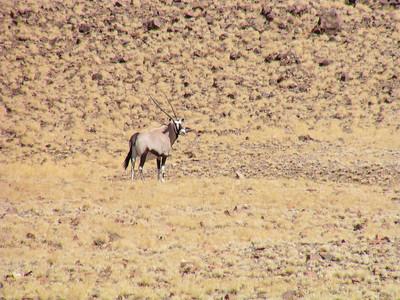 Gemsbock (Oryx gazella)