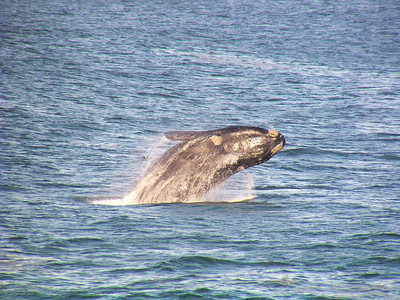 Soutern Right Whale