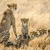 Cheetah family in Botswana