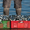 Red and green baskets filled with sardines on the dock