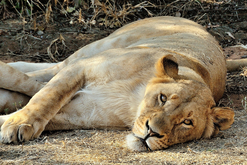 Lioness on a hot afternoon