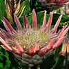 A King Protea begins to bloom