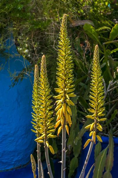 Yellow flower spikes at Majorelle Garden