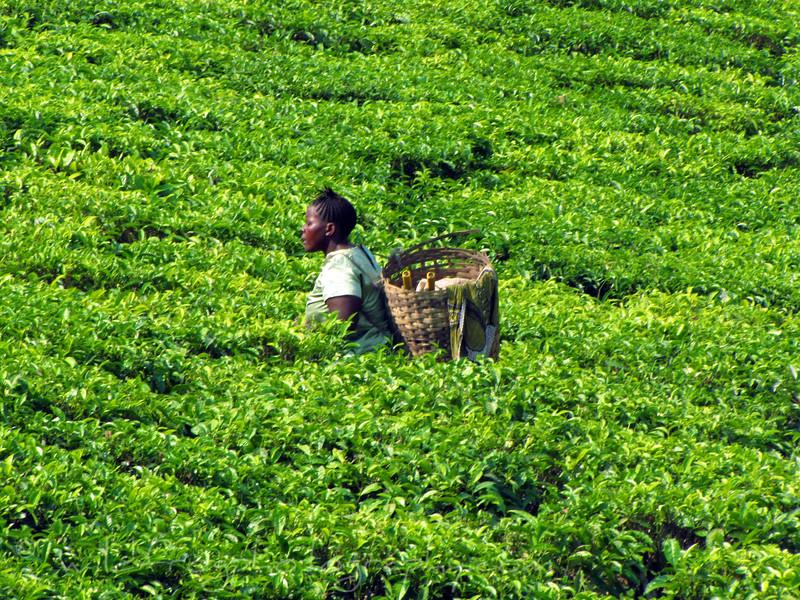 Picking Tea Tanzania