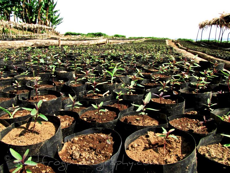 Young tea plants