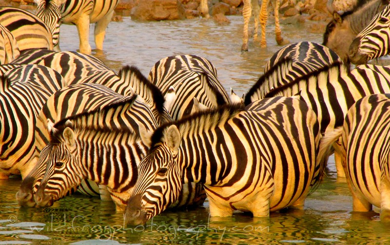 Zebras Drinking - Etosha Namibia