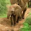 Elephant (Addo)