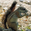 Cape Ground Squirrel feeding in Etosha - Namibia