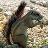 Cape Ground Squirrel feeding in Etosha - Namibia