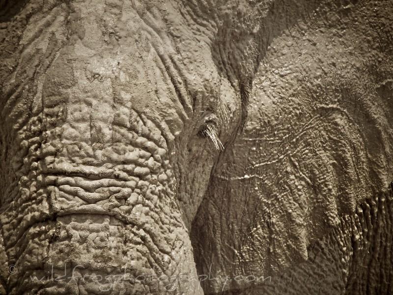 Elephant, Etosha - Namibia