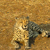 Cheetah laying on ground