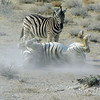Zebra rolling in dirt