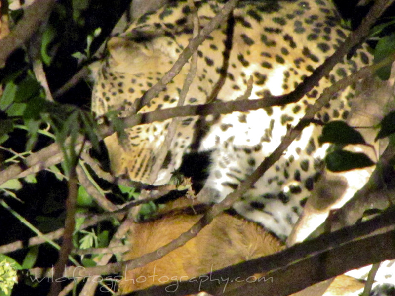 Leopard in tree with a Kill