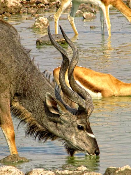 Kudu drinking at water hole in Etosh, Namibia