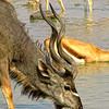 Kudu drinking at water hole in Etosh, Namibia