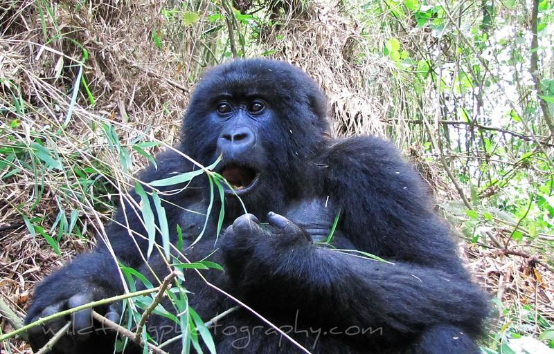 Female Gorilla