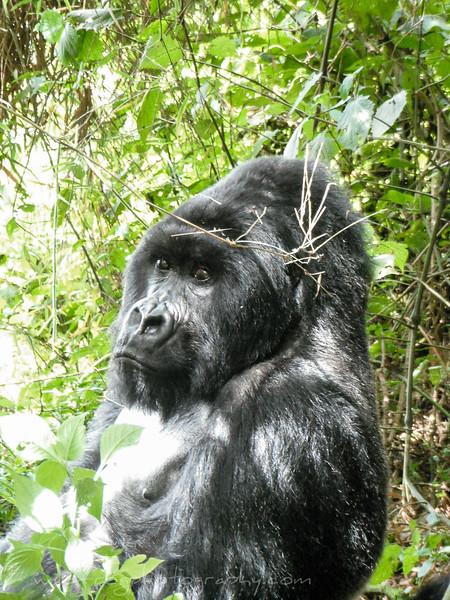Silverback Gorilla looking at us