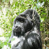 Silverback looing at us