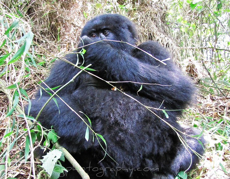 Young Female Gorilla