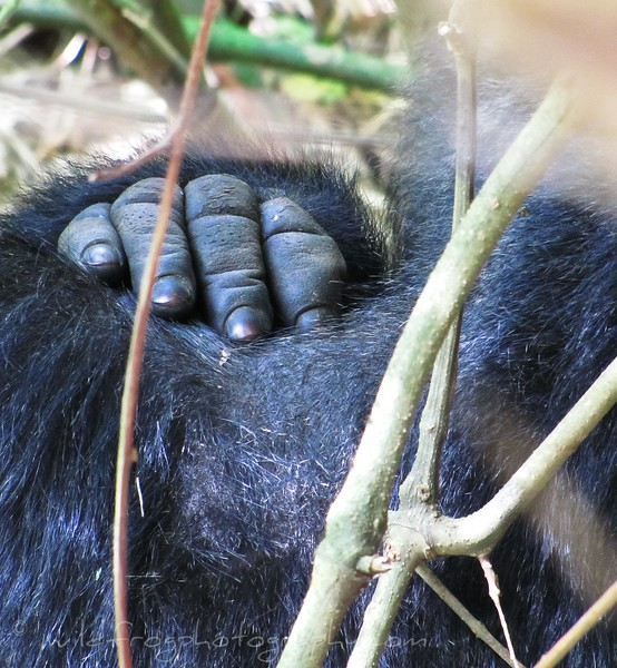 Gorilla Hand on shoulder