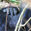 Gorilla Hand on shoulder