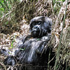 Gorilla laying in grass
