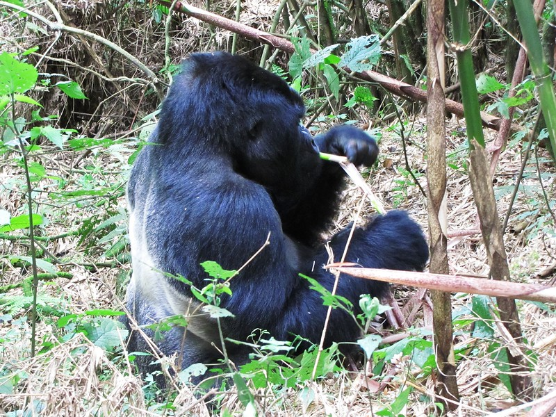 Big male Gorilla