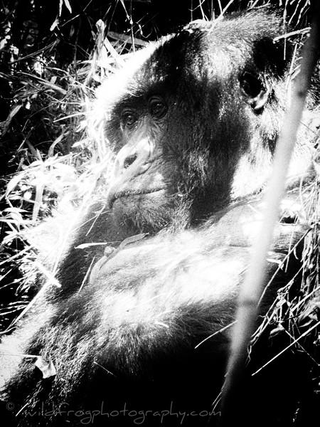 Female Gorilla, Rwanda