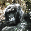 Close up of Gorillas head