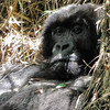 Female gorilla in Bamboo
