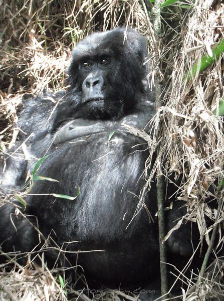Female Gorilla laying in Bamboo