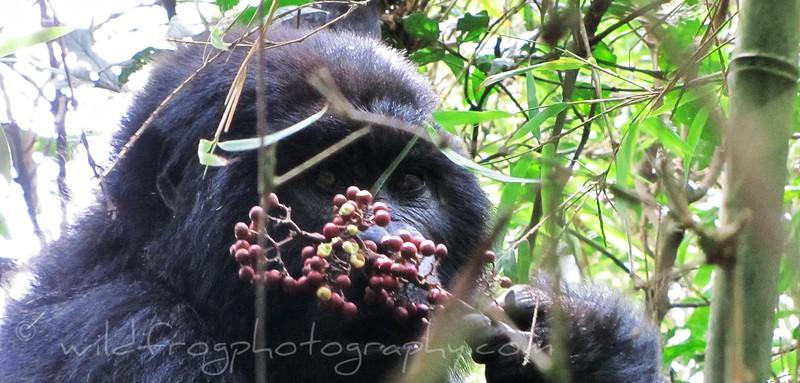 Gorilla eating berries