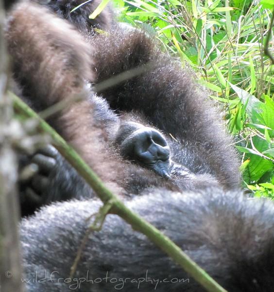 Gorilla sleeping on his back