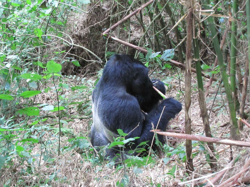 Silverback Gorilla eating bamboo