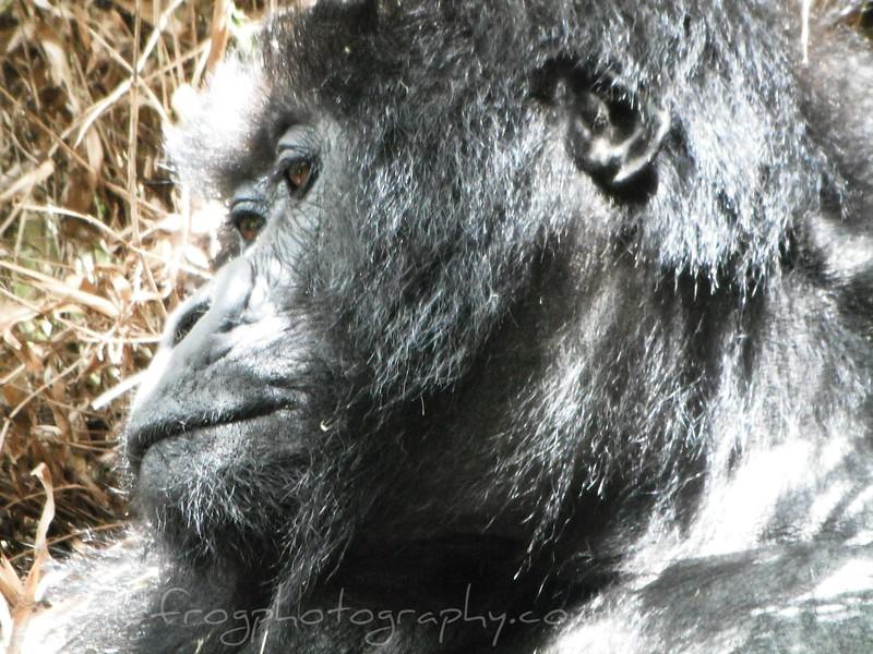Side view of female gorillas head