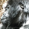 Side view of female gorillas head