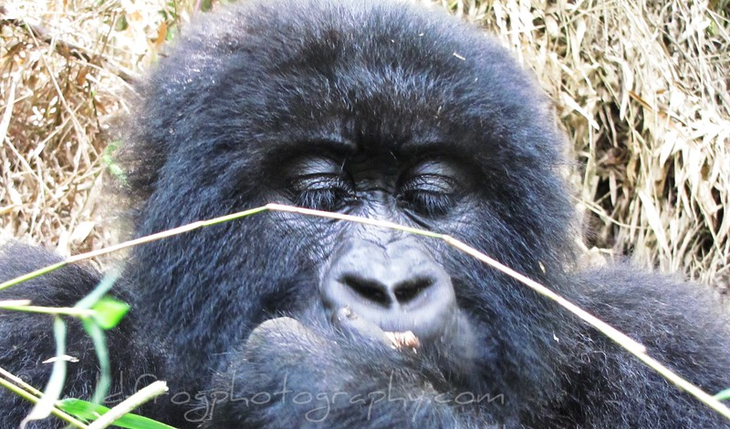 Closeup of Female Gorillas head