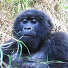 Female gorilla watching me