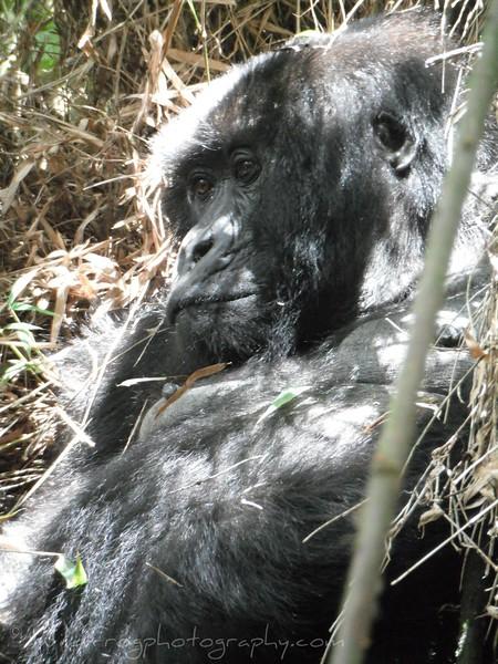 Female Gorilla lying in bamboo nest