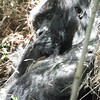 Female Gorilla lying in bamboo nest