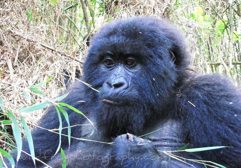 Close up of Female Gorilla