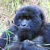 Close up of Female Gorilla