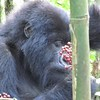 Gorilla eating red berries