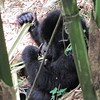Gorilla eating leaf