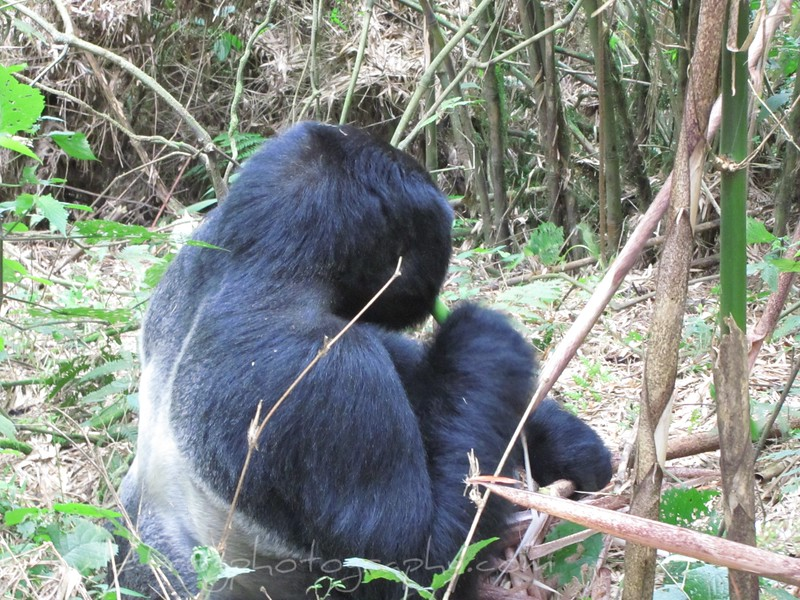 Back of Silverback Gorilla