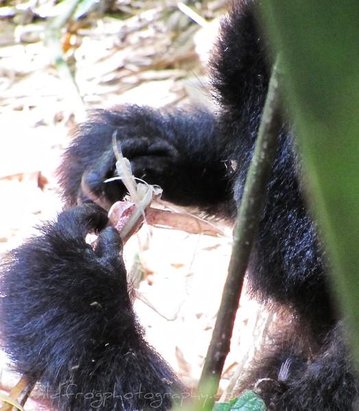 Gorillas Hands at work