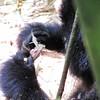 Gorilla peeling bamboo