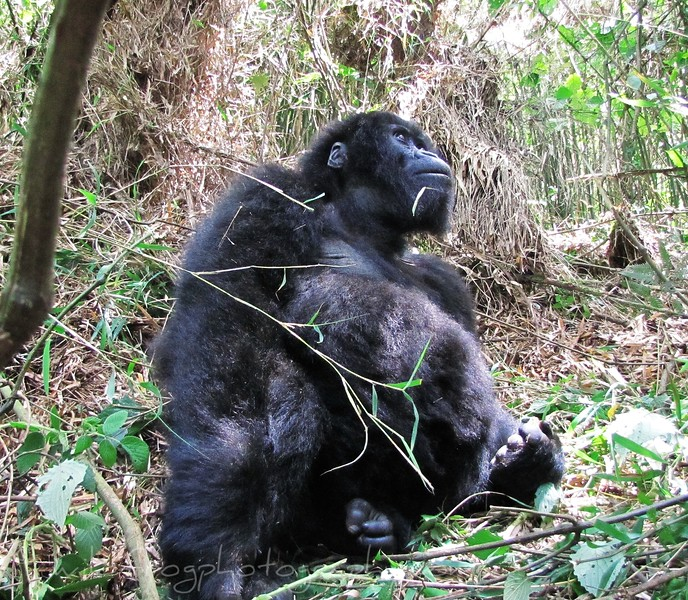 Female gorilla sitting behine me